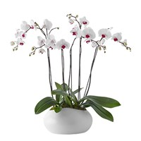 Double-Orchid-Beautiful-Bloom